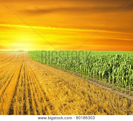 sunset at the corn field