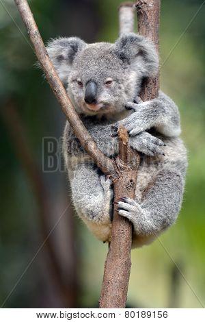 Baby Cube Koala - Joey