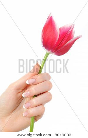Beautiful Hand With Perfect French Manicure On Treated Nails Holding Tupil Flower. Isolated On White