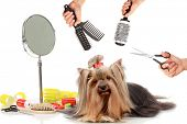 Yorkshire terrier grooming at the salon for dogs poster