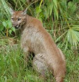 it is most beautiful florida panther, good nature and wild life poster