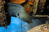 Giant moray on the wreck in the red sea poster