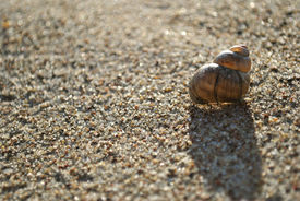 A Brown Shell