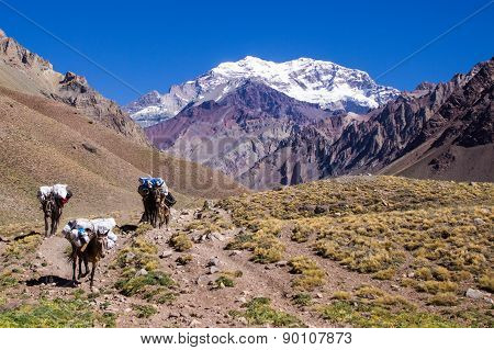 Mules in the Aconcagua Mountain Trail summer - Argentina