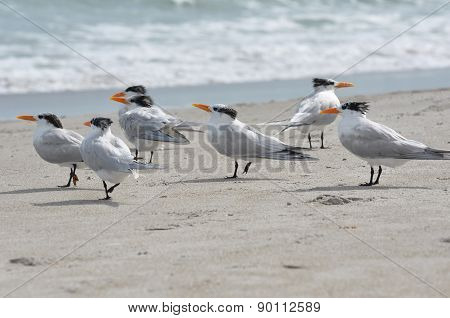 Royal terns on a beach showing their patchy winter plumage