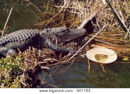 Gator And Hat