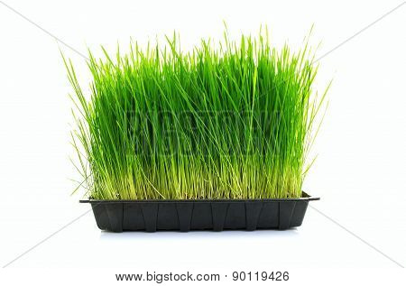 Nutritious Tray Of Homegrown Wheatgrass on a White Background poster