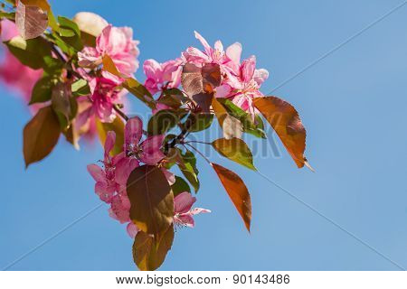 Malus pumila - natural lovely pink fragrant spring flowers of a paradise apple-tree in small DOF poster