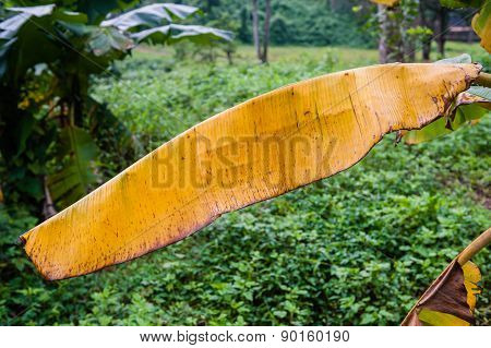 Banana Leaf Yellow