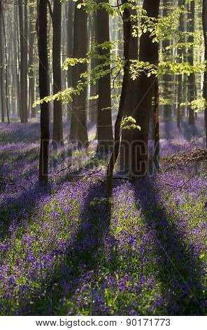 sunlight in spring forest with flowering blue hyacinth Hallerbos poster