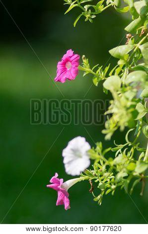 Petunias In Hanging Pots.( Petunia Hybrida Vilm.)