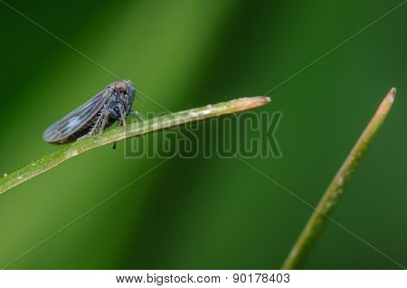 Treehopper On A Single Blade Of Grass