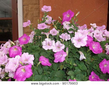 Petunia  for the beautiful a garden decoration.