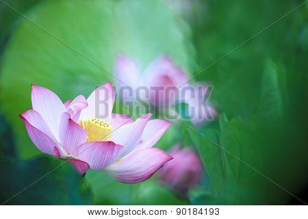 Beautiful Pink Waterlily Or Lotus Flower In Pond
