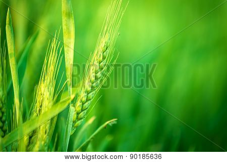 Green Wheat Head in Cultivated Agricultural Field Early Stage of Farming Plant Development Selective Focus with Shallow Depth of Field poster