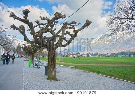 Sprouting Planetree In Interlaken, Switzerland