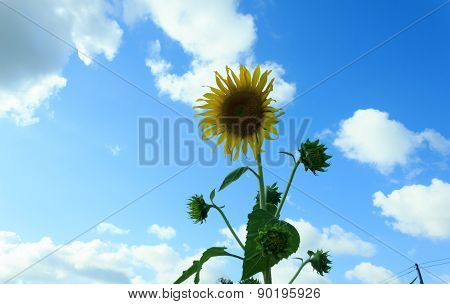 sunflower with blue sky  for the beautiful garden decoration.