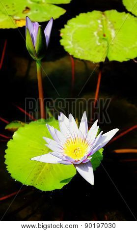 Purple Lotus  for the beautiful garden decoration.