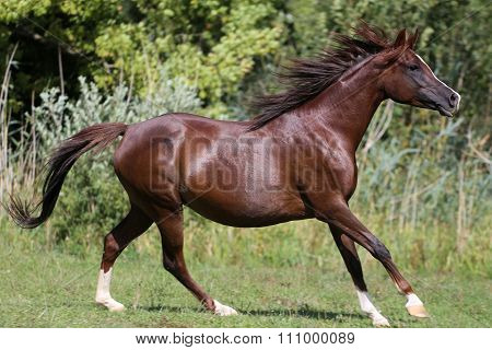 Thoroughbred Horse Galloping Across A Green Summer Pasture