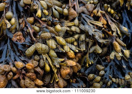 Bladderwrack or Bladder Wrack is the most common algae or seaweed on the shores of the UK poster