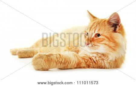 Fluffy red cat laying isolated on white background