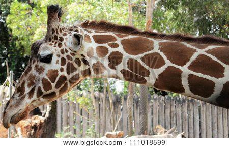 The Long Neck Girrafe