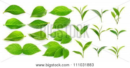 Green Tea Leaf And Green Leaves On A White Background