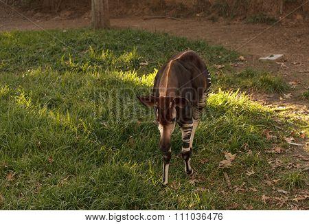 Okapi, Okapia johnstoni, is found in Africa