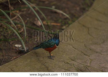 Superb starling, Lamprotornis superbus, bird