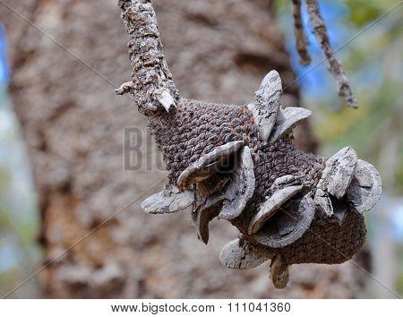 Dried Banksia Fruit