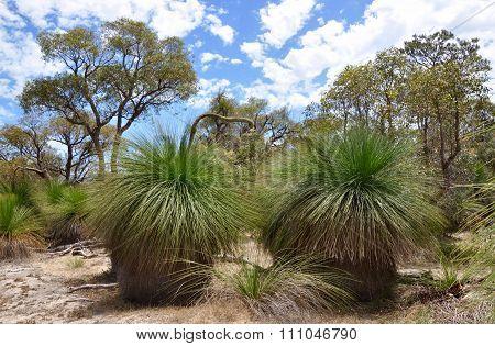 Australian Bush Landscape: Yakka Trees