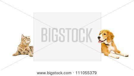 Beagle dog and cat Scottish Straight peeking from behind banner