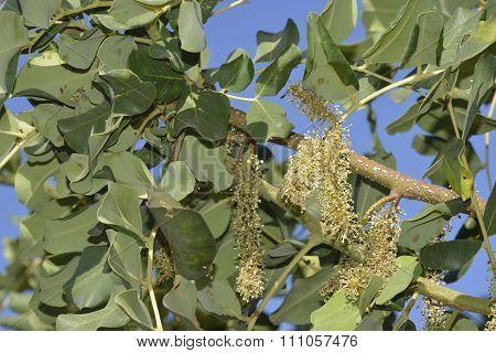 Carob Or Locust Tree