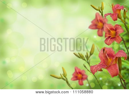 Daylily (hemerocallis) With Dew Drops On Blurred Background With Bokeh