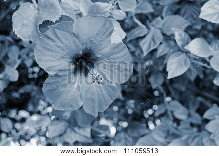 Big Flower On A Bush With Leaves Of Silvery Tone