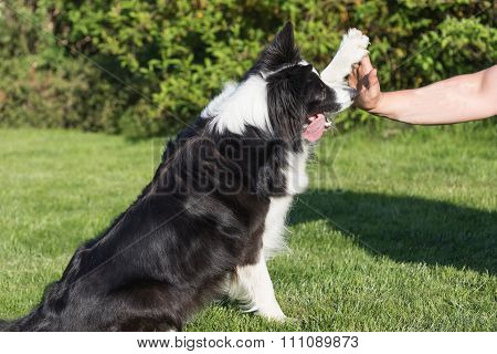 High Five With The Border Collie