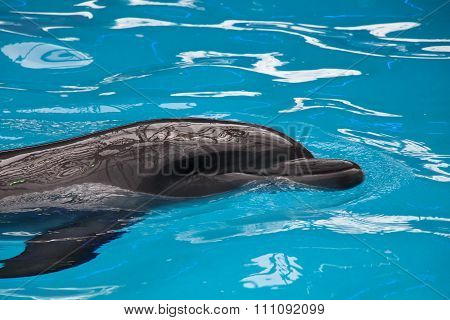 A Gray  Dolphin In Blue Water