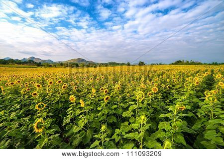 Blooming sunflower in a field with blue sky in summer.