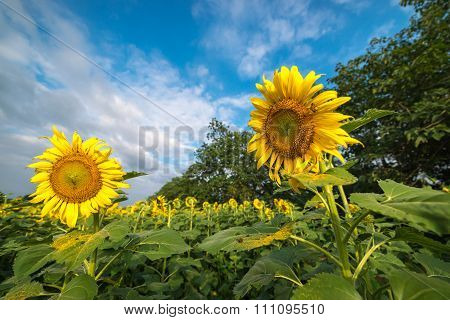 Blooming sunflower, Sunflower field in summer. Agriculture and season.