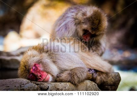 Japanese snow monkey at snow monkey park, Nagano, Jigokudani, Japan.