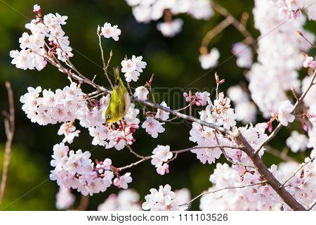 the japanese white eye with spring cherry blossom in Japan.