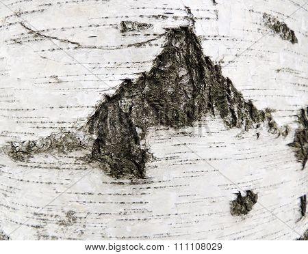 Bark of birch,  species of Karelian, Betula pendula var. Carelica