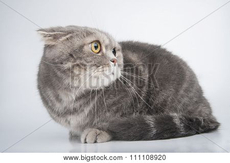 Portrait Of A Frightened Cat. Breed Scottish Fold..