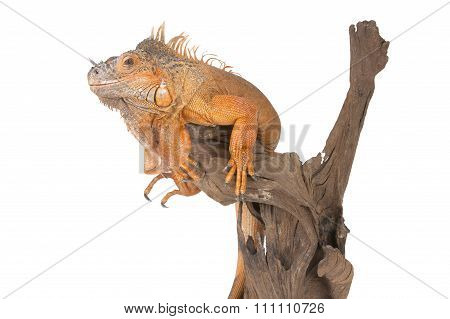 Common Iguana (red Morph) Sitting On A Driftwood..