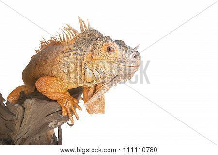Common Iguana (red Morph) Close Up..