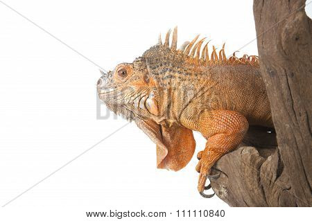 Portrait Of The Iguana Ordinary (red Morph), Which Sits On The Driftwood.