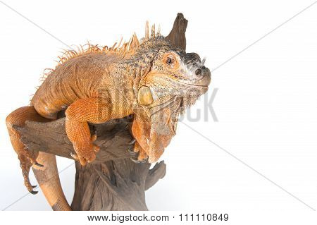 Iguana Sits On Driftwood Close Up And Looking At The Camera..
