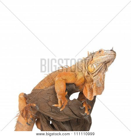 Iguana Sits On Driftwood Close Up And Looking Up..