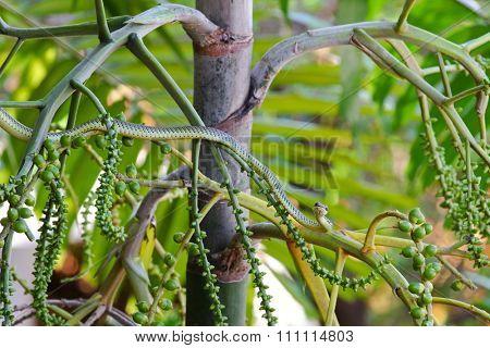 A green snake (Chrysopelea ornata) named Golden tree snake, ornate flying snake, golden flying snake on Foxtail palm tree