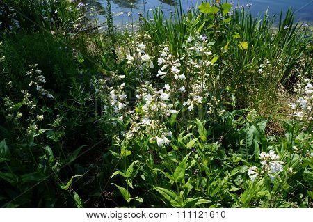 Foxglove Beard-Tongue Flowers